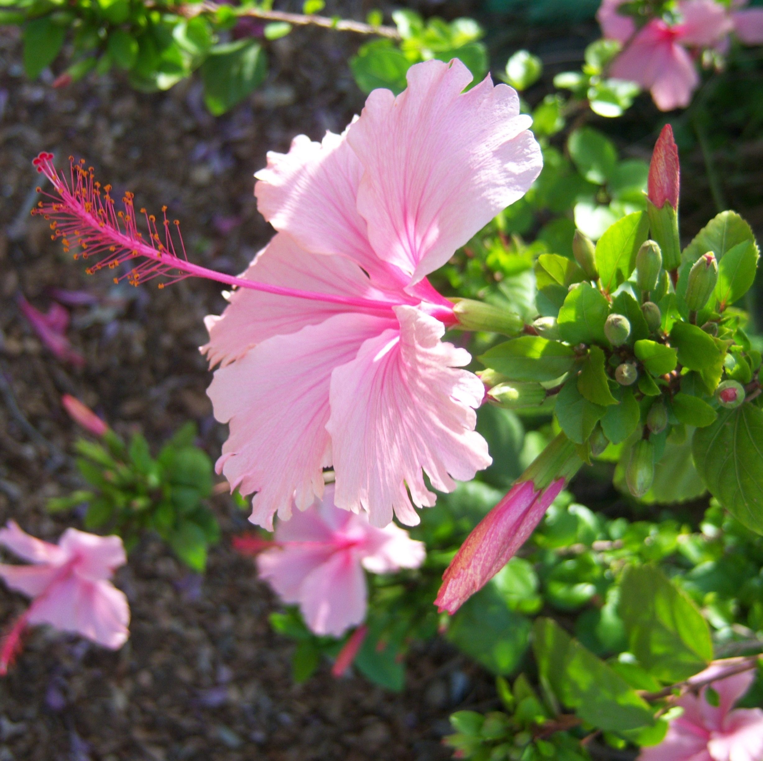 Pink Hibiscus Tree Michael Flaugh Landscape Architect